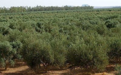 THE 10 MOST EXTENSIVE OLIVE FARMS OF THE PLANET ARE ALL LOCATED OUTSIDE OF SPAIN