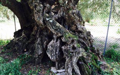 ¿Podría un olivo producir alubias? Esta leyenda dice que sí