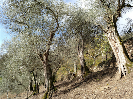 BRAVA: THE GALICIAN OLIVE VARIETY THAT ALMOST WENT EXTINCT DUE TO HIGH TAXES