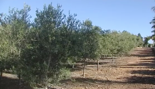 SPAIN'S OLIVE HARVEST ALREADY STARTED IN AUGUST