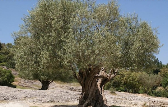 THE OLIVE TREE WAS DOMESTICATED IN THE SECOND HALF OF THE FIFTH MILLENNIUM BEFORE CHRIST