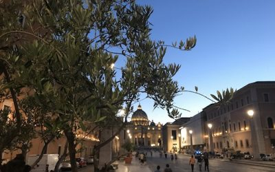20 OLIVE TREES WATCH OVER SAINT PETER'S BASILICA
