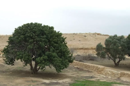 SCIENTISTS RESCUE MILLENARY OLIVE TREES FROM THE NEGEV DESERT