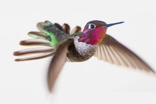 THE SECRET OF HOW HUMMINGBIRDS FLY IS DISCOVERED THANKS TO THE USE OF EVOO AND SOPHISTICATED MILITARY CAMERAS