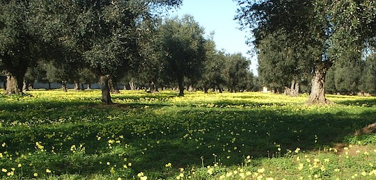 OLIVE GROVES MAKE UP THE BEST ARTIFICIAL ENVIRONMENT IN NATURAL BIODIVERSITY