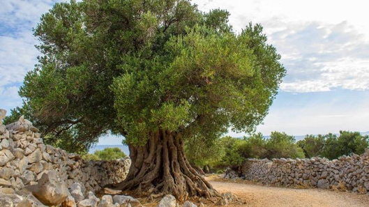 PAG ISLAND: 80,000 OLIVE TREES DISPUTED OVER FOR THEIR ECOLOGICAL VALUE