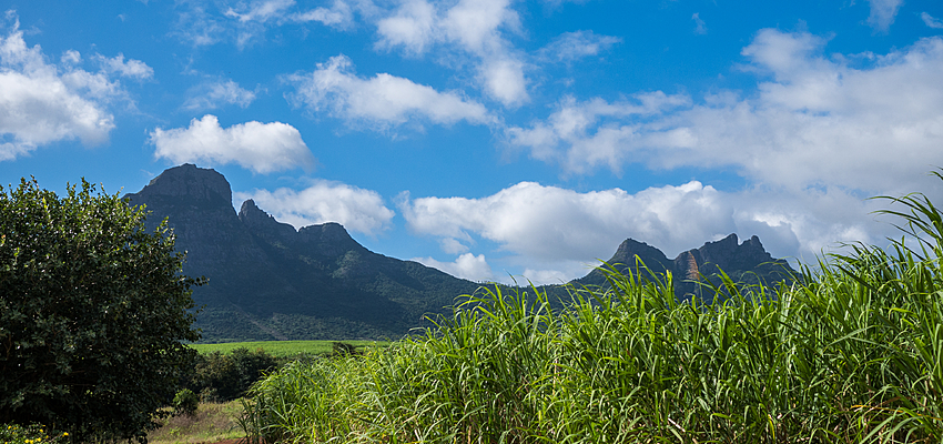 MAURITIUS: A TROPICAL PARADISE FOR OLIVE TREES